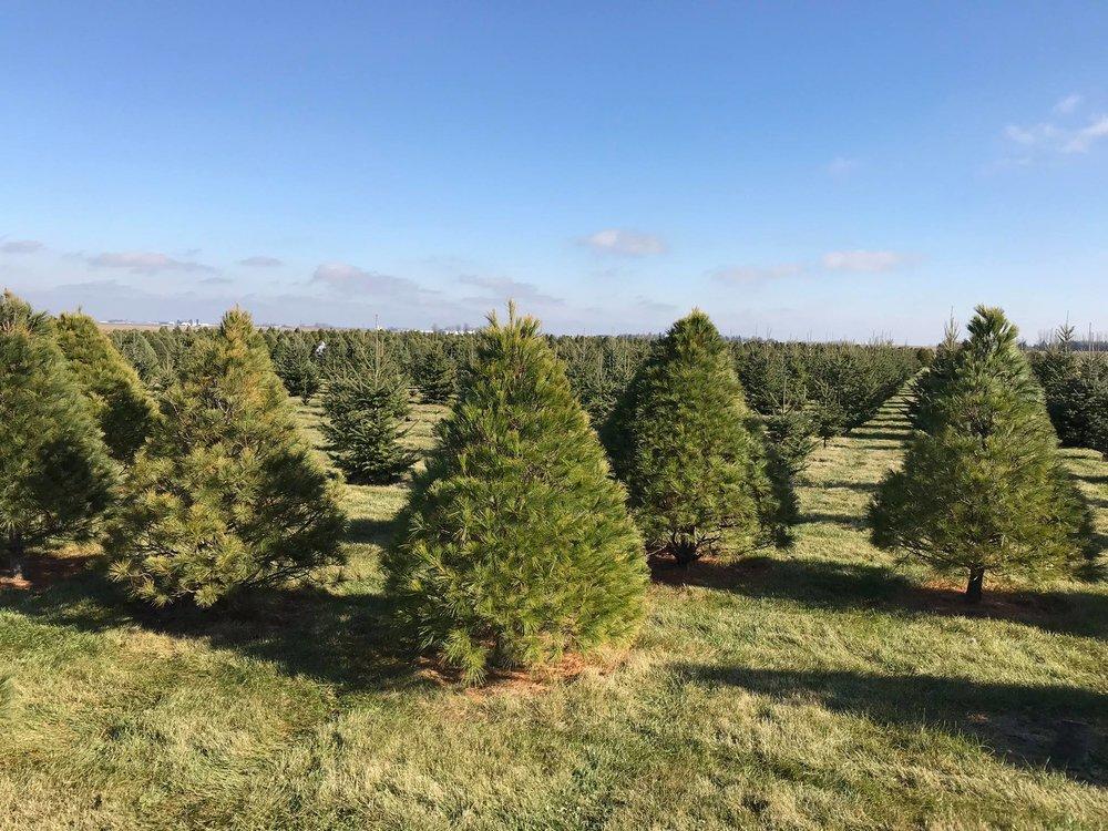 <広大な敷地に植えられたたくさんのクリスマスツリーの木から、お気に入りを探して自分で伐採します>