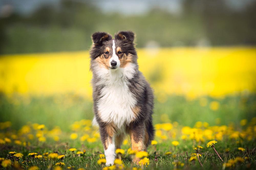Hundfoto - Collie