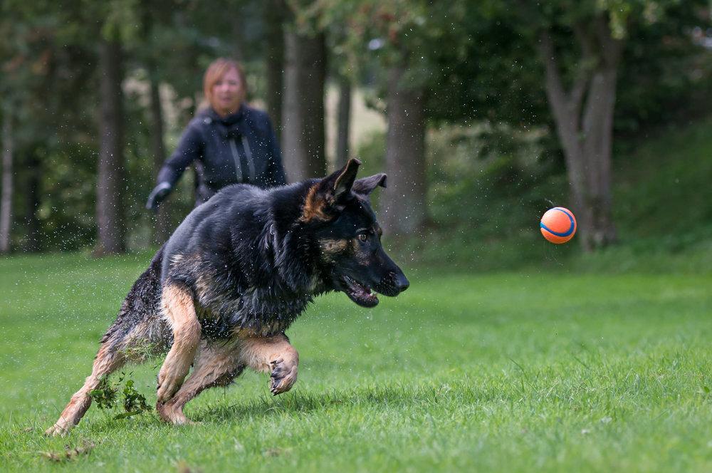 Hundfoto - Schäfer