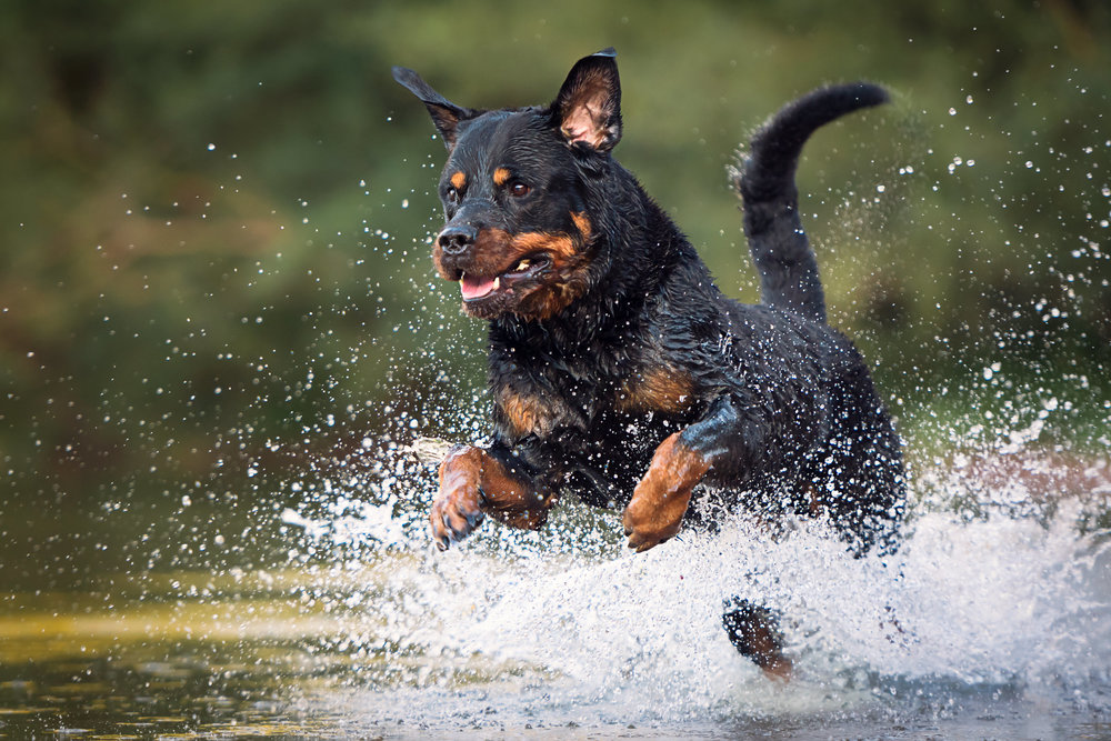 Hundfoto - Rottweiler