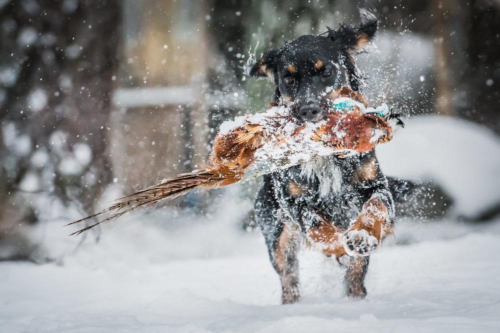 Hundfoto - Jakt
