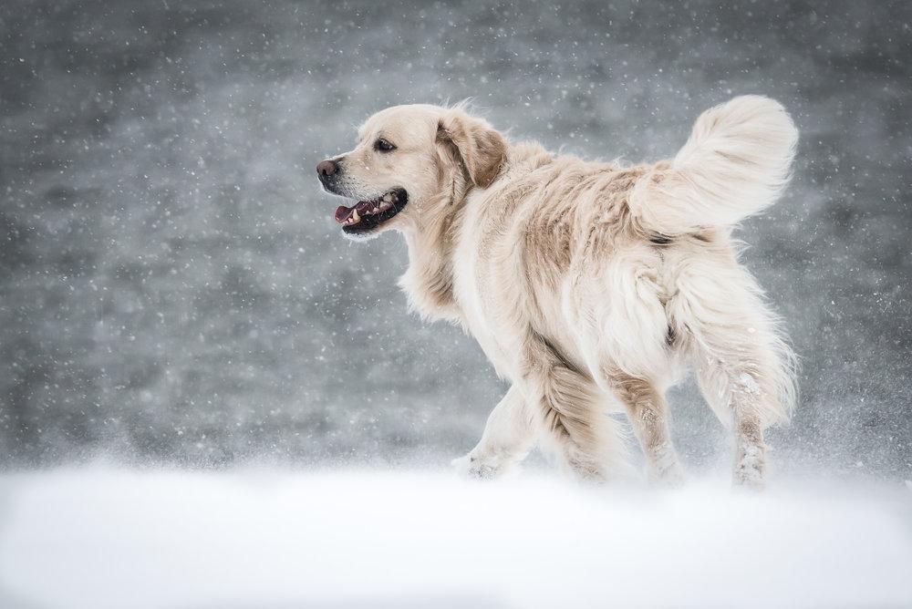 Hundfoto - Golden Retriever