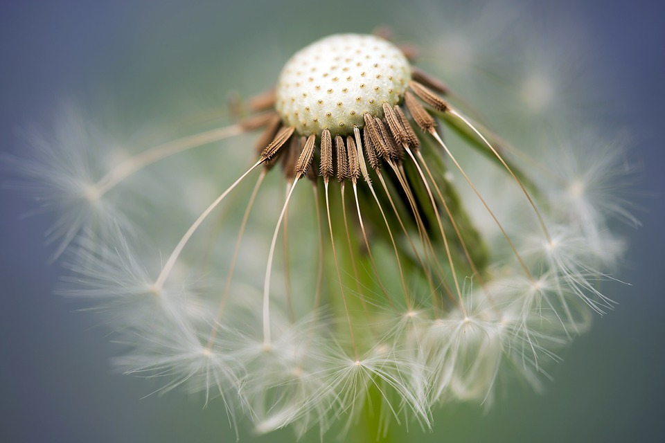 common-dandelion-335662_960_720.jpg