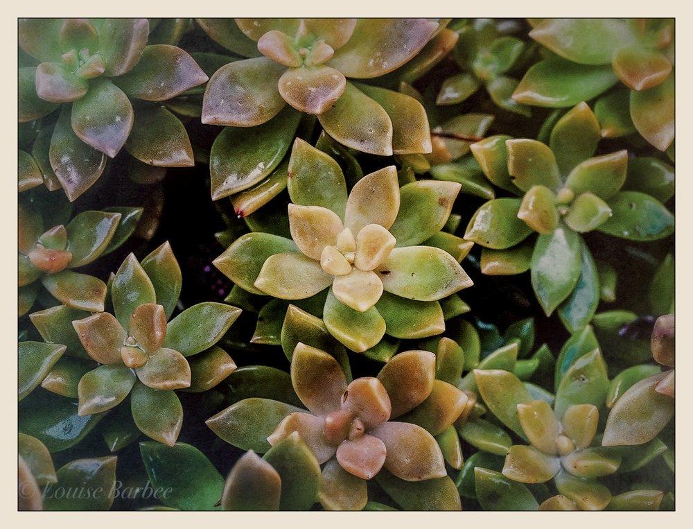 Sparkling succulents