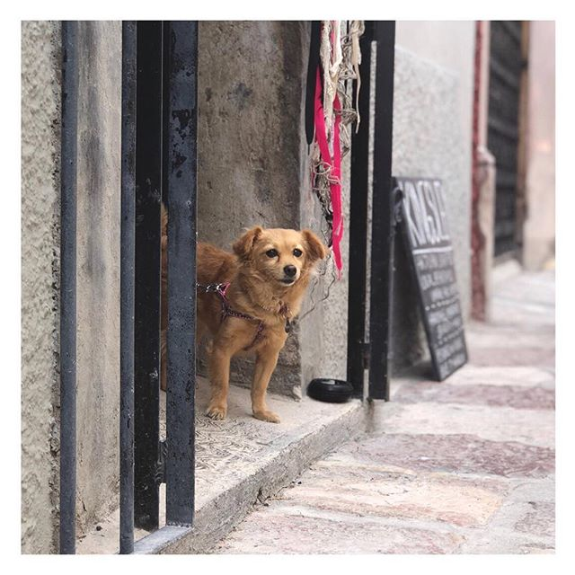 Perros en San Miguel _____// ⠀⠀⠀⠀⠀⠀⠀⠀⠀ This one belonged to a snooty lady in cat eye glasses and kitten heels. He didn't want to shop today, Mamá. ⠀⠀⠀⠀⠀⠀⠀⠀⠀ #sanmiguelseries #perrosensanmiguel #amormexico #dogsarebetterthanpeople