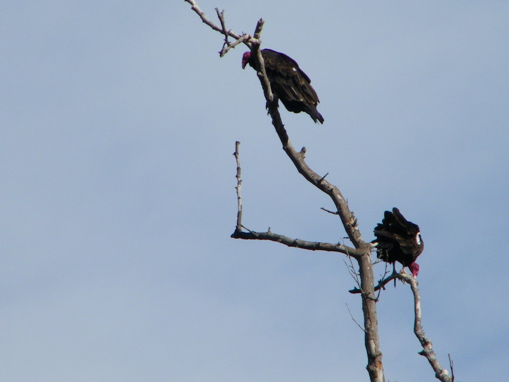 Vultures, from my personal photos