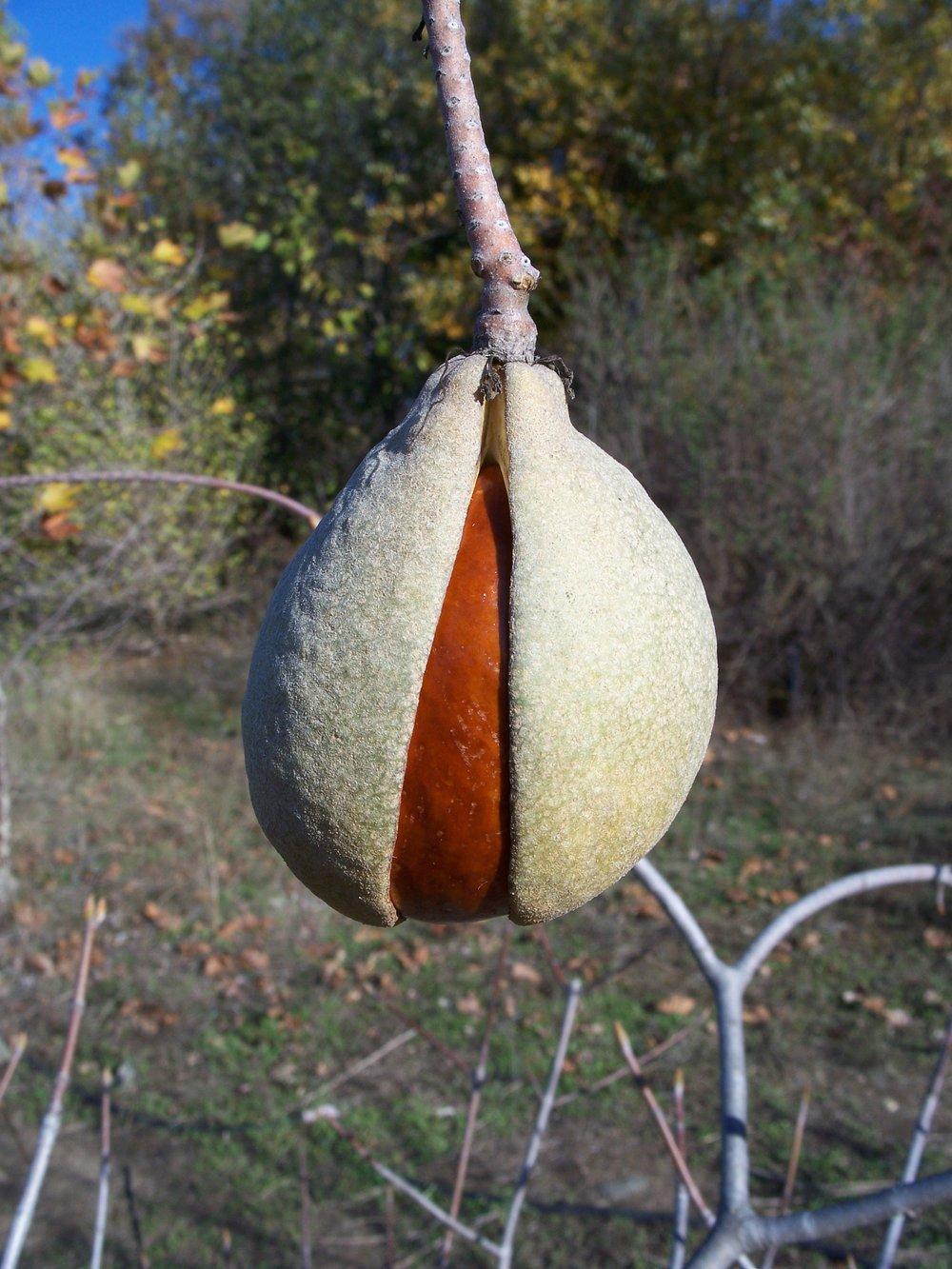 California Buckeye Seed