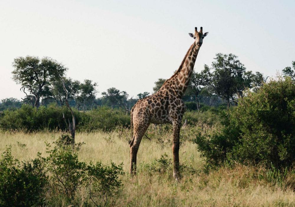 safari giraffe.png