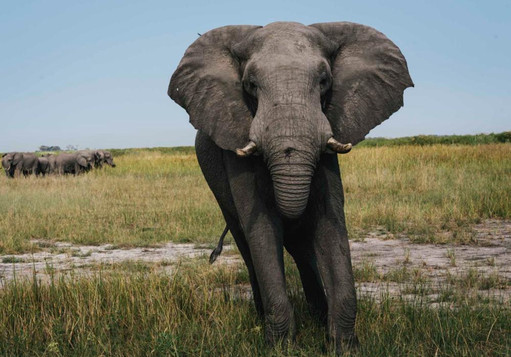 Safari Elephant.png