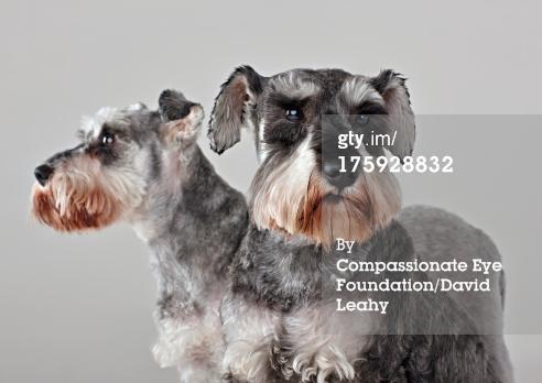 Doggie - Schnauzer