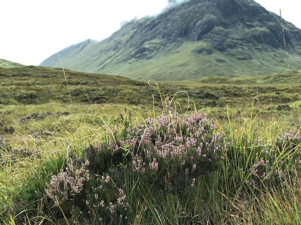 Fields of Heather at the base of Buachaille Etive Mòr Mountain, Glencoe.