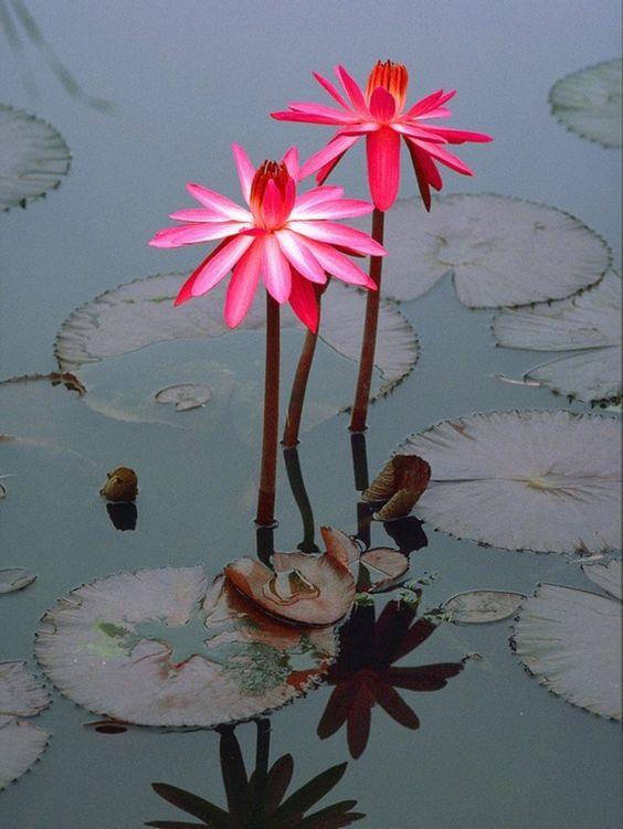 Inspirational image Lili pad and lotus