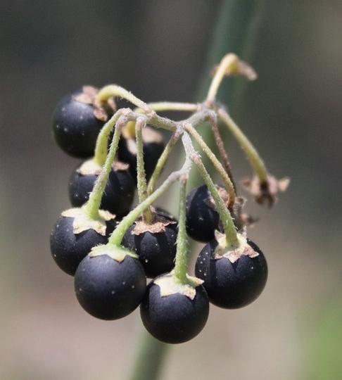 Blackberry Nightshade Berries