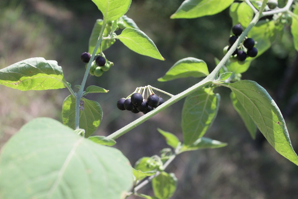 Blackberry Nightshade