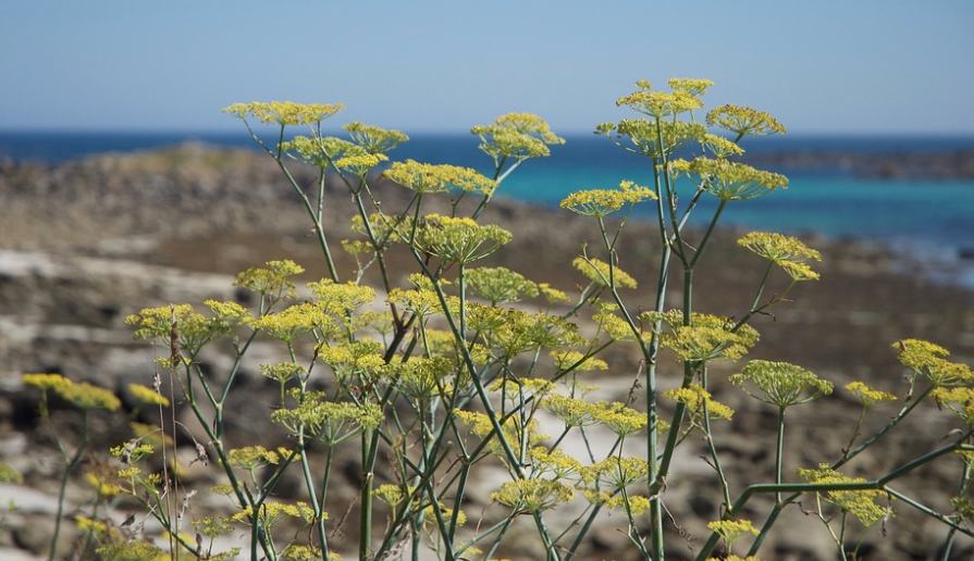 wild fennel.png