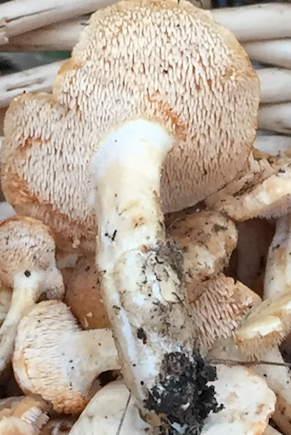Hedgehog mushroom teeth