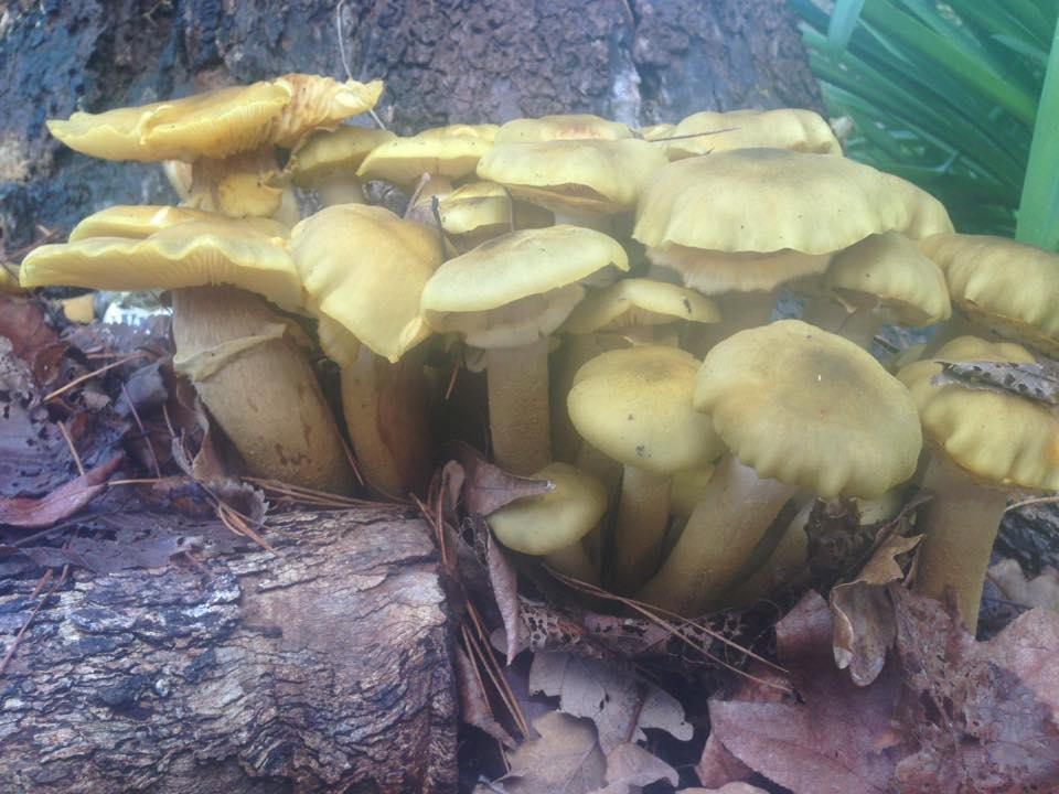 Honey Fungus  Photo Credit Bronte Kerr