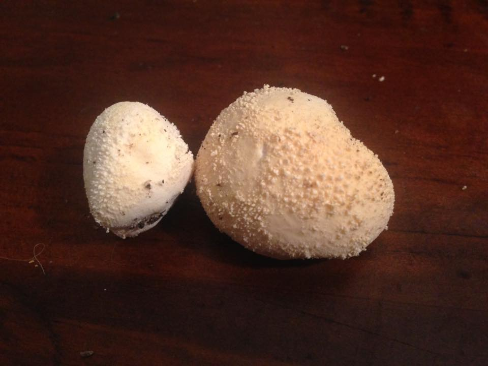 Puffballs (Lycoperdon sp)  Photo Credit Bronte Kerr