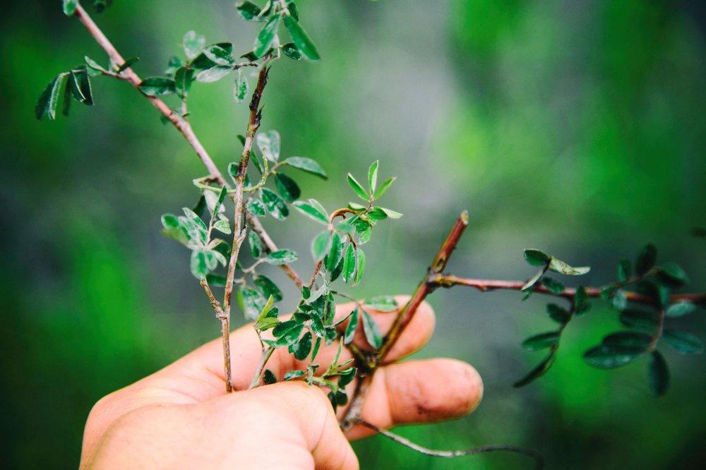 當天扦插的穗花木藍