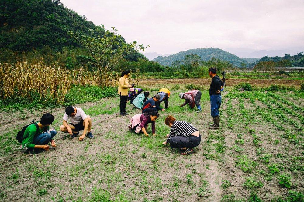 小米秧苗和雜草根本分不清楚,外行的我們只能先去除明顯差異的雜草,剩下交給 tina 們處理。