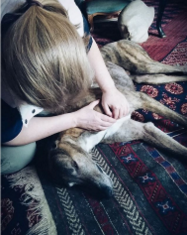 Link, a lovely retired racing greyhound, getting canine massage.