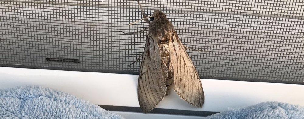 Moth Louise 2.jpg