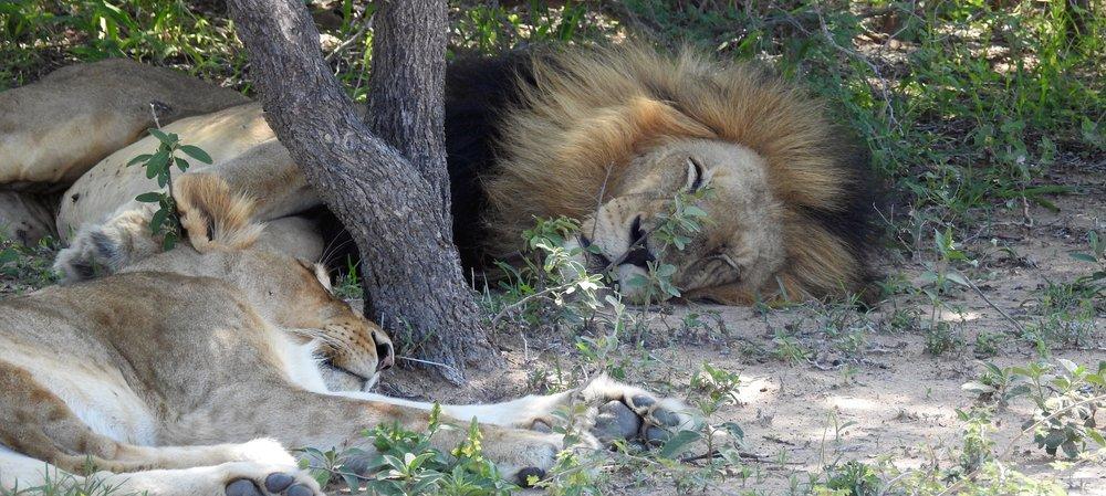 Lion lust care.jpg