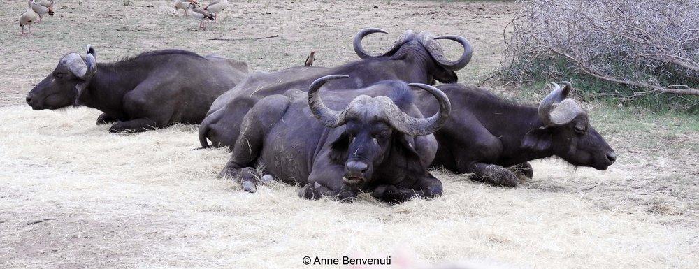 6 buffalo friends copy.jpg