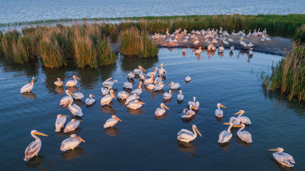 white-pelicans-pelecanus-onocrotalus-PSFKMRX.jpg