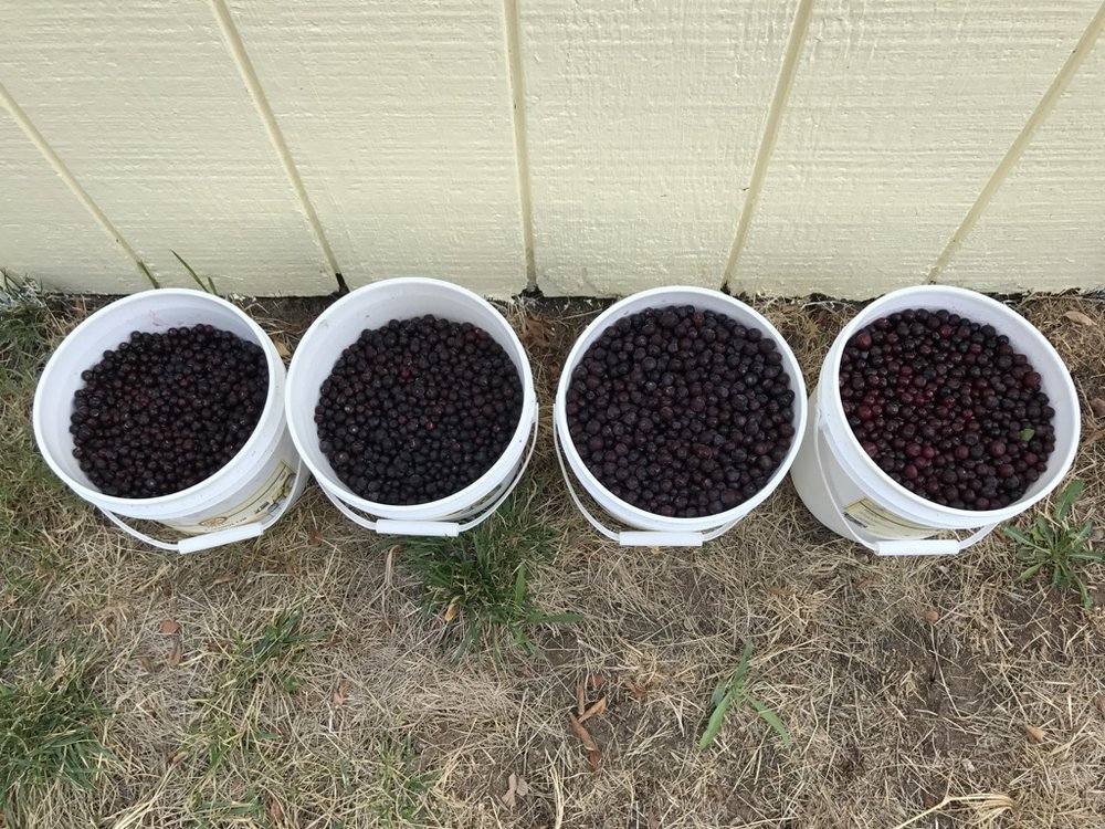 Huckleberry haul of 2017; 4 gallons picked by 2 people in about 6-7 hours