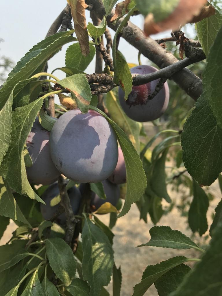 italian_plum_tree