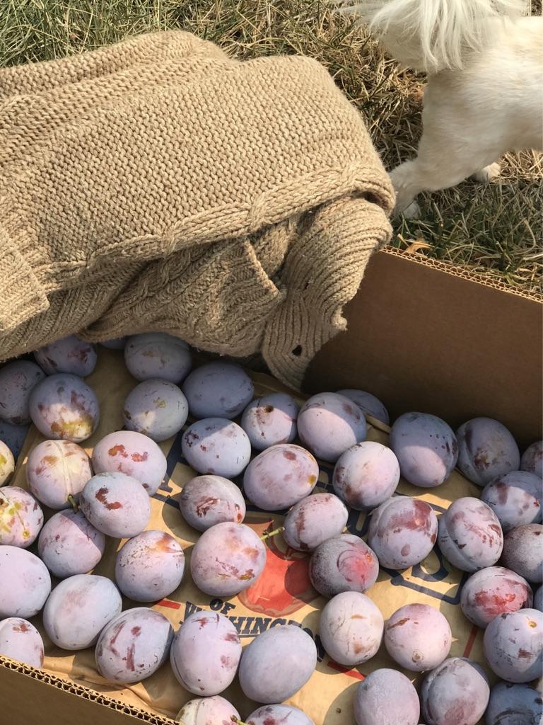 picking_italian_plums_into_box