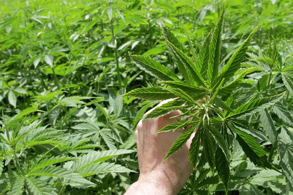 high cbd organic hemp