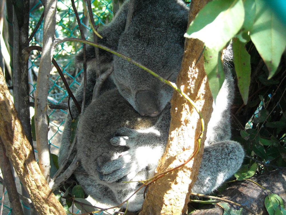 Reclaiming Habitat for Threatened Species - Lone Pine Koala Sanctuary, Queensland, Australia