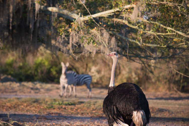 Shadow-Oak-Plantation-Ostrich-Zebras.jpg