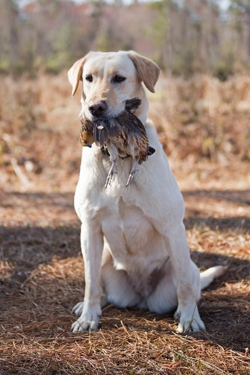 Shadow-Oak-Plantation-lab-retriever-quail.jpg