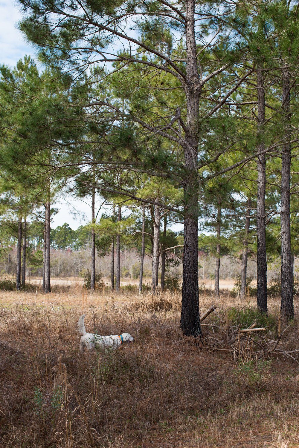 Shadow-Oak-Plantation-English-setter-pointing-quai.jpg