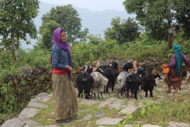 Pashupati Gurung takes the family goats for grazing, a source of income  for the family.