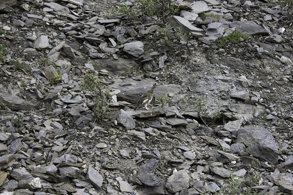 The Alaska State Bird (Willow Ptarmigan)
