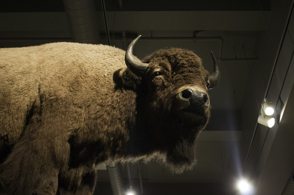 Buffalo_MuseumoftheNorth