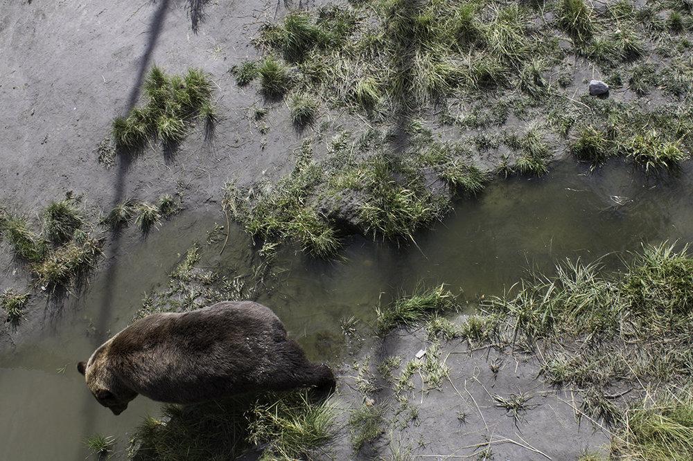 Hugo the Grizzly Bear