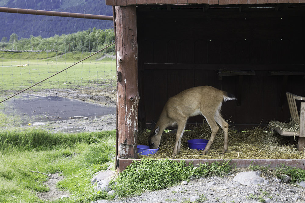Blacktail Sitka Deer Fawn