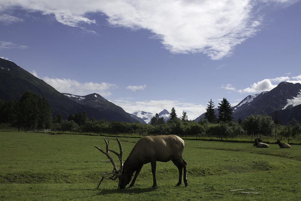 Bull Elk Grazing