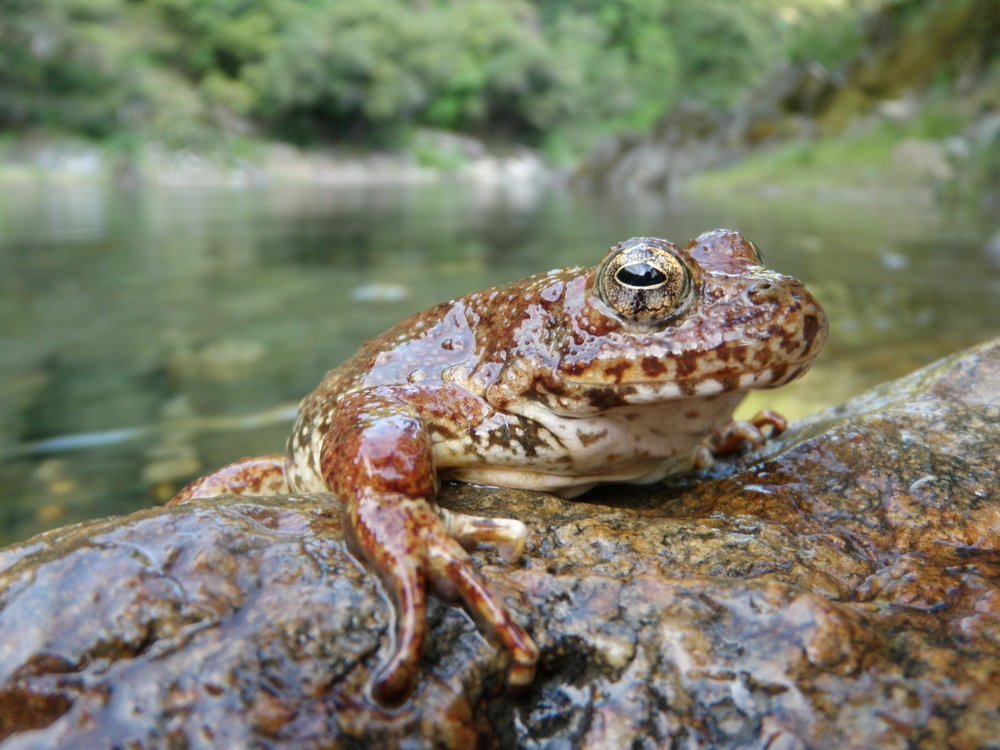 Rana boylii  from an existing population in northern California. Photo credit: Alessandro Catenazzi