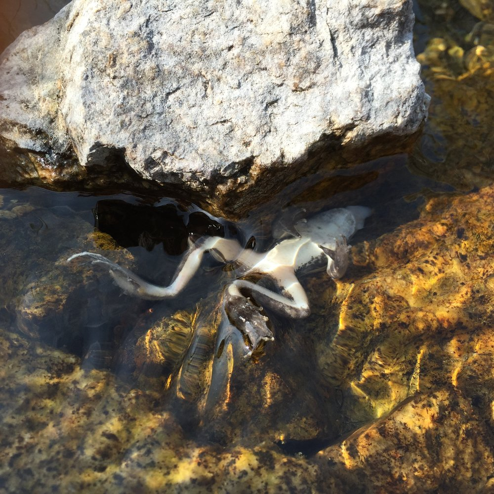 A mountain yellow-legged frog ( Rana muscosa ) that has succumbed to chytridiomycosis in the Sierra Nevada of California.
