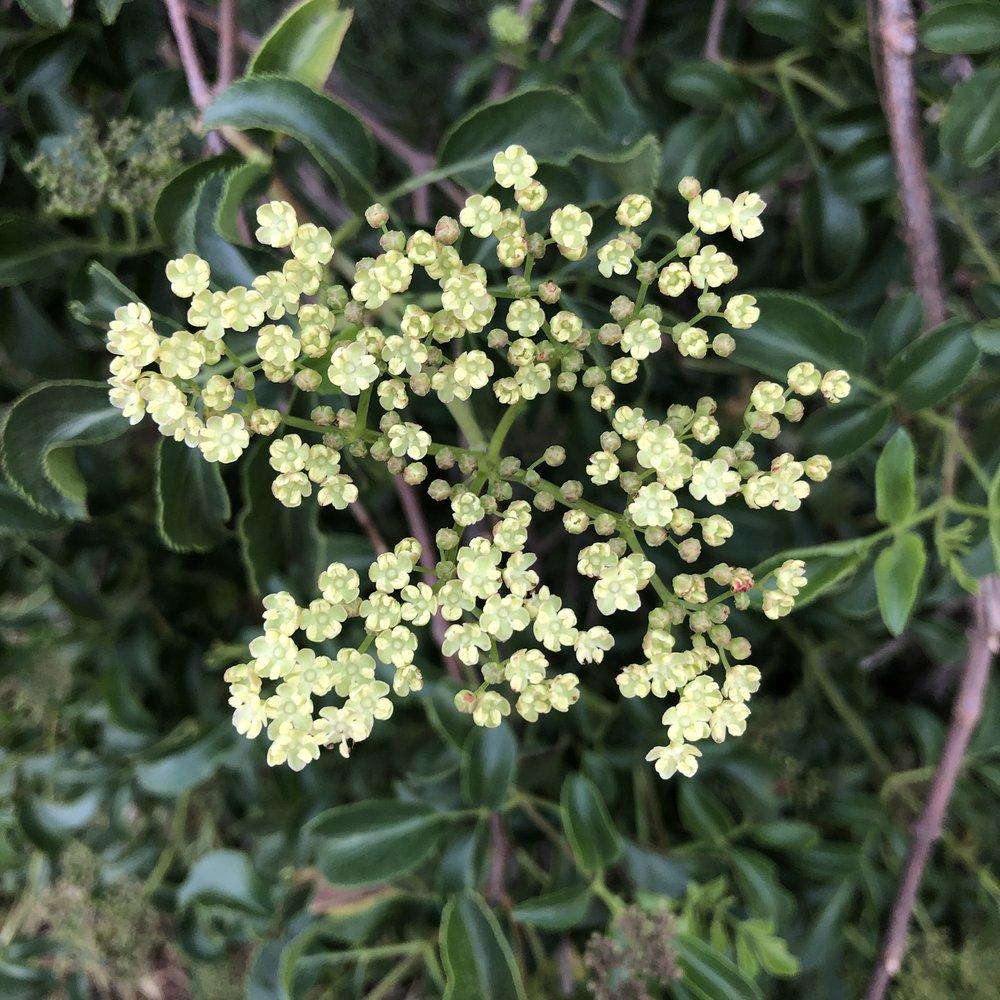 Elderberry flowers.