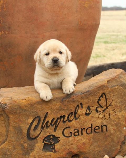 yellow garden puppy.jpg