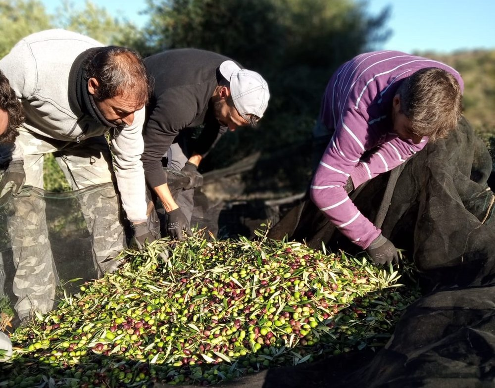 Moment of the olive oil harvest in La Donaira.