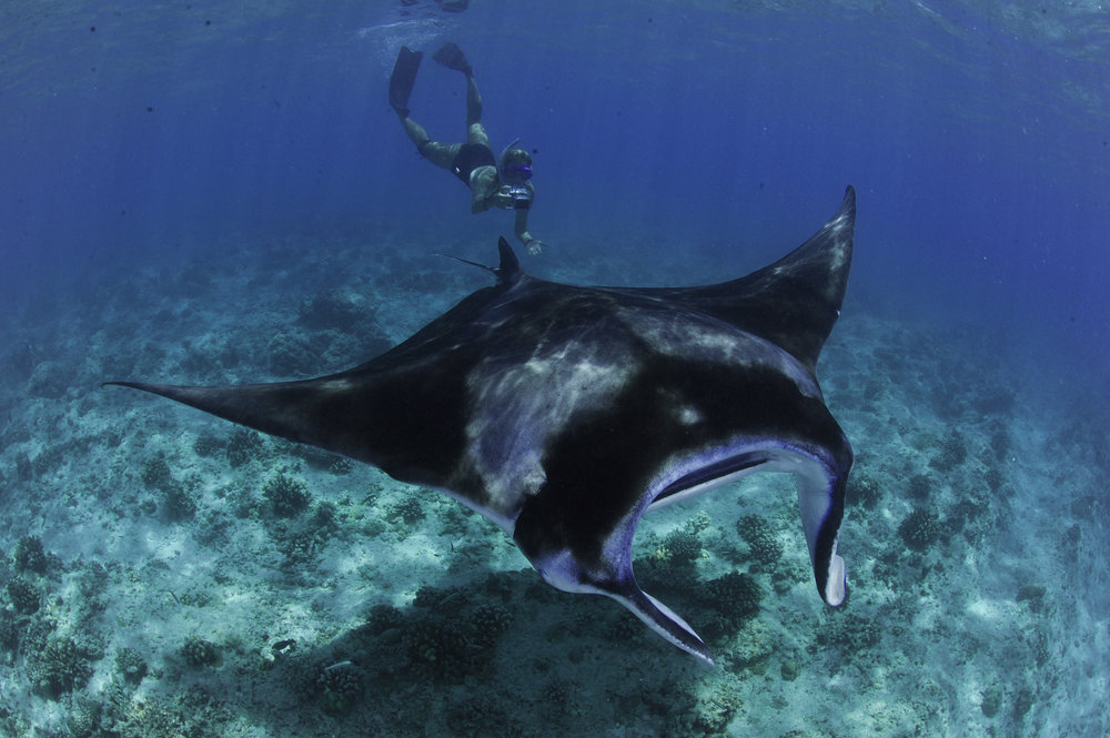 Does Tourist Behaviour Affect Reef Manta Feeding Behaviour? - Ella Garrud - Masters Thesis (2016)