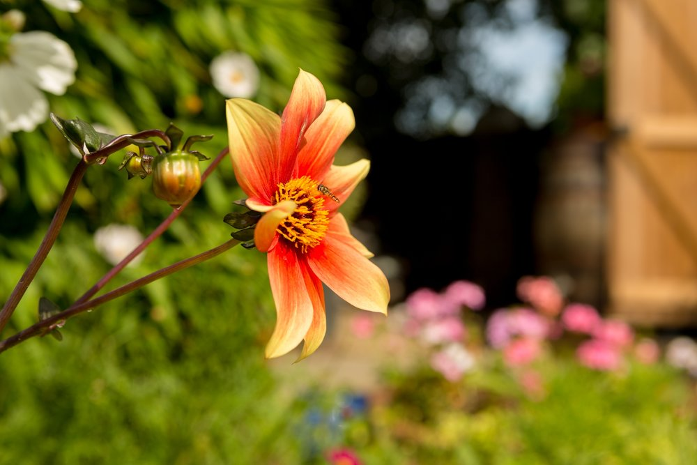 Blackheath Flower
